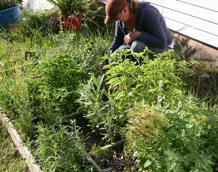 Click here for a high res picture of Kelly picking herbs at the herb garden in August